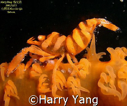 Sea Whip Shrimp..2007/11/11 Xiao Liu Qiu, Taiwan. by Harry Yang 